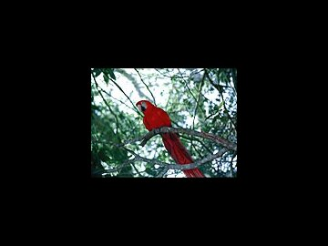 Parrot (French)