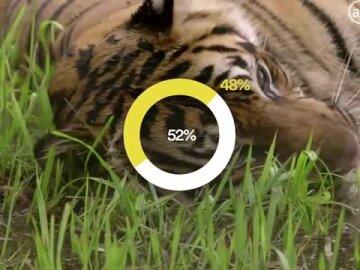 Tiger Royalty