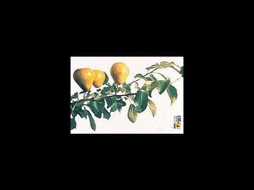 Ligat pears