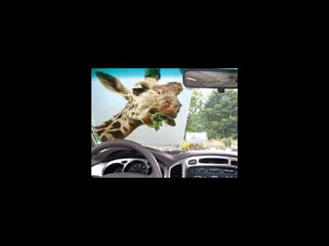 Giraffe Windshield