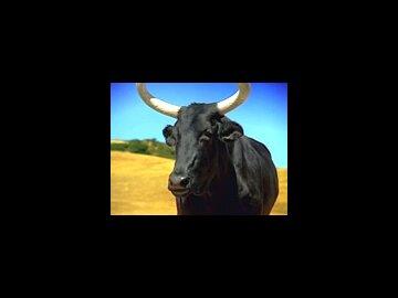 French Bulls