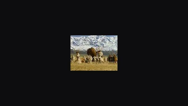 Lamb Streaker